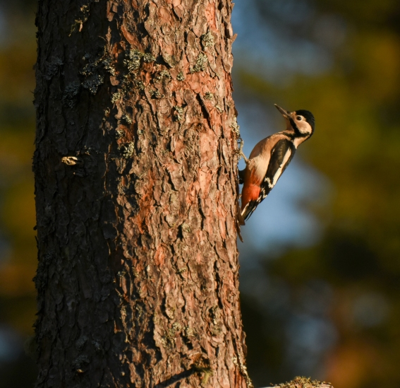 Greater-spotted woodpecker